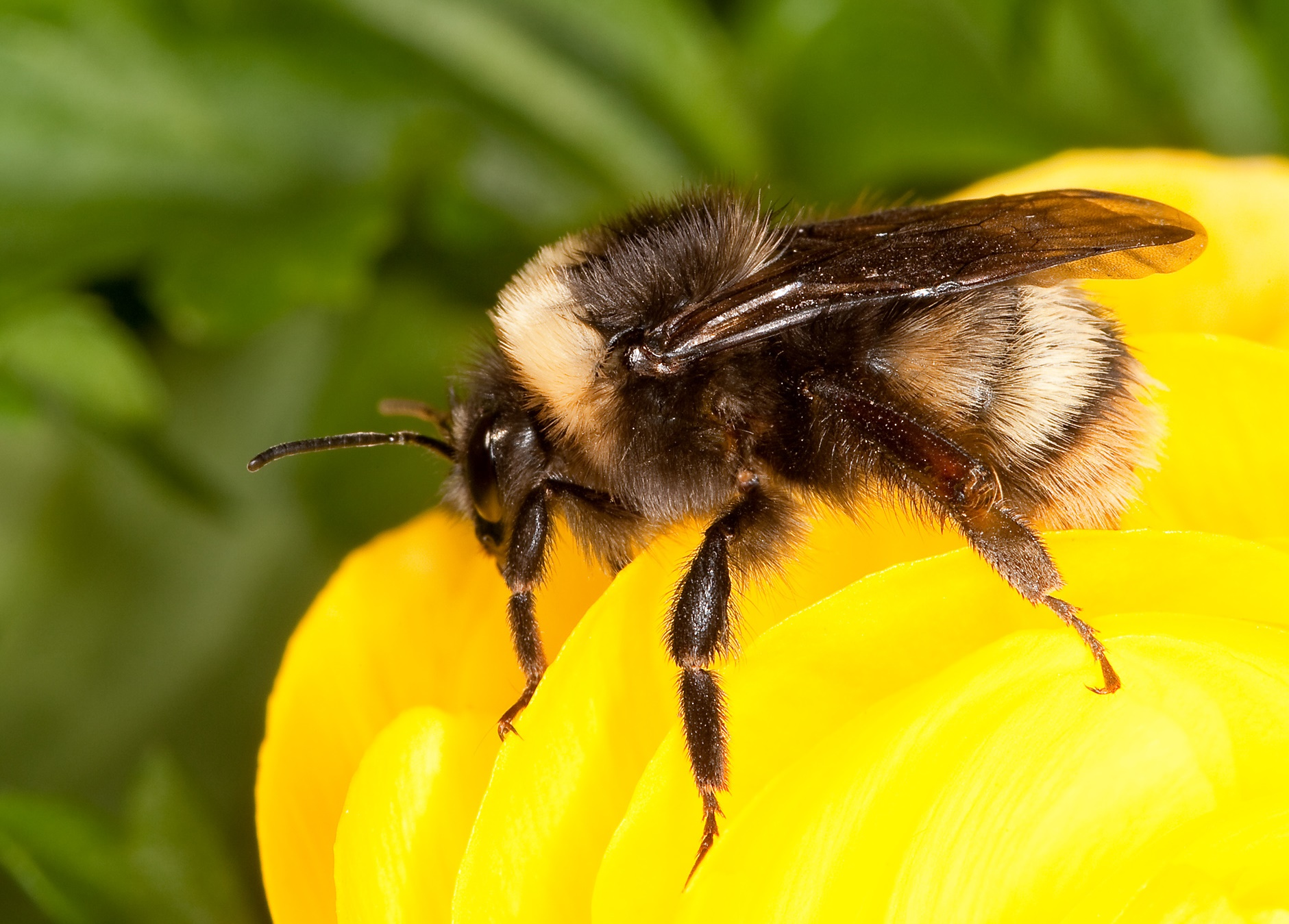 Closeup bumblebee photo via USDA