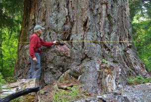 """Emile Shelter Big Tree — 12' 7"""" dbh, about 200' tall — one of the largest Douglas firs in Oregon"""